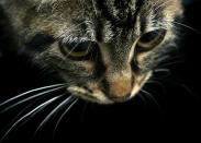 Bilanx ilmaisnäyte (kissoille)